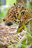 Profil de léopard photographie stock libre de droits