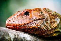 Profil de lézard de caïman Image libre de droits