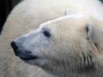 Profil de l'ours blanc Image libre de droits