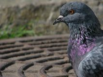 Profil de la colombe de roche Photographie stock