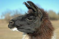 Profil de lama Photos stock