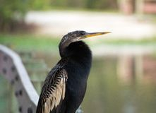 Profil de Largo Nature Preserve Anhinga photos libres de droits