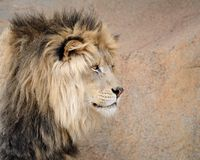 Profil de lion Photos stock