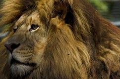 Profil de lion Photographie stock libre de droits