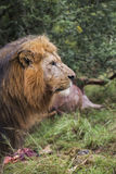 Profil de lion Image libre de droits