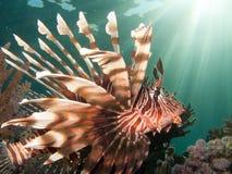 Profil de Lionfish avec des faisceaux du soleil Photos stock