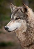Profil de loup de bois de construction (lupus de Canis) photos libres de droits
