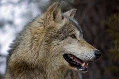 Profil de loup de bois de construction (lupus de Canis) Photographie stock