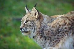 Profil de Lynx Image libre de droits