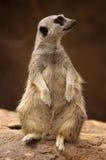 Profil de Meercat Images libres de droits