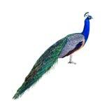 profil de paon de découpage Photo libre de droits