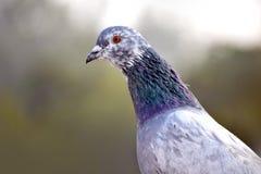 Profil de pigeon Images libres de droits