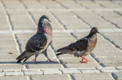 Profil de pigeons Photo stock