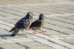 Profil de pigeons Photographie stock libre de droits