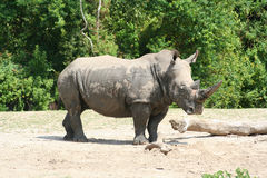 Profil de rhinocéros Photos libres de droits