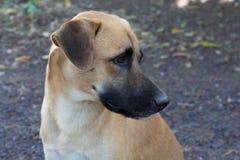 Profil de Rhodesian Ridgeback Photos stock
