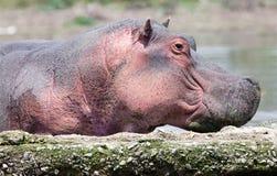 Profil de tête d'hippopotame Photographie stock