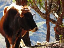 Profil de vache à Brown regardant vers la droite Image stock