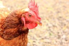 Profil de visage de poulets Photo libre de droits