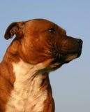 Profil del terrier di toro dello Staffordshire Fotografia Stock Libera da Diritti