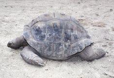 Profil der östlichen Kasten-Schildkröte stockbild