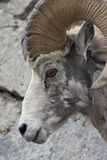 Profil der Bighorn-Schaf-(Ram) Stockbilder