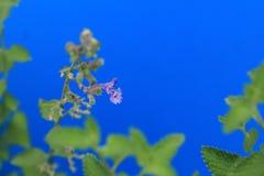 Profil der purpurroten Catmintblume Stockbild