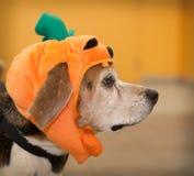 Profil des älteren Spürhundhundes, der Halloween-Kürbiskostüm trägt Lizenzfreies Stockfoto