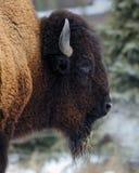 Profil des amerikanischen Bisons Stockbild