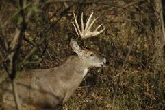 Profil des cerfs communs   Photo libre de droits