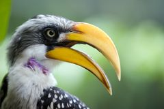 Profil des gelben Schnabel-Vogels Lizenzfreie Stockbilder
