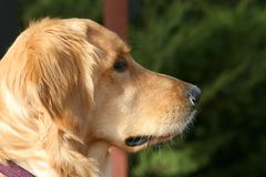 Profil des golden retriever-Hundegesichtes stockfoto