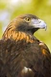 Profil des goldenen Adler-(Aquila chrysaetos) über Grün-Goldhintergrund Lizenzfreie Stockbilder