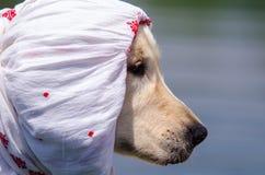 Profil des goldenen Apportierhunds Stockfotografie