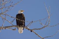 Profil des kahlen Adlers Stockfotos
