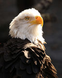 Profil des kahlen Adlers Lizenzfreie Stockbilder