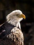 Profil des kahlen Adlers Stockbilder