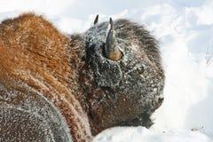 Profil des Kopfes des Bisons lizenzfreie stockfotografie