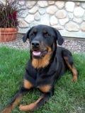 Profil des Rottweiler Hundes Stockfotos