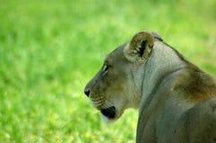 Profil des weiblichen Löwes Lizenzfreie Stockfotos