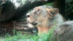 Profil des weiblichen Löwes stock video footage