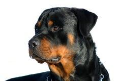 Profil di rottweiler Fotografie Stock