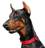 Profil of Doberman. Young purebred doberman: beautiful watching dog Stock Image