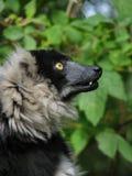 Profil du lemur ruffed Image libre de droits