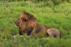 Profil du lion masculin s'étendant dans l'herbe Photographie stock libre de droits