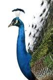 Profil du Peafowl indien mâle photo stock