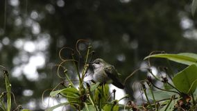 Profil du petit colibri vert se reposant sur la branche banque de vidéos
