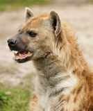 Profil einer beschmutzten Hyäne Lizenzfreies Stockbild