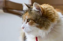 Profil einer dreifarbigen Katze, die auf der linken Seite des Bildes anstarrt lizenzfreies stockfoto