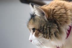 Profil einer dreifarbigen Katze, die entlang des Bodens anstarrt lizenzfreie stockfotos